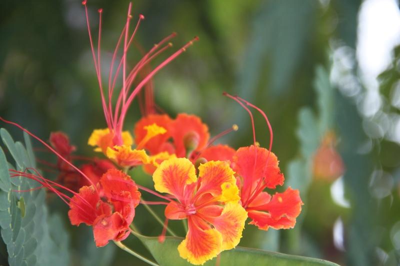 Flores da aldeia Kuntamanã