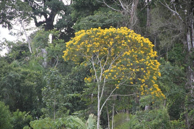 Floresta da Terra Indígena dos Kuntanawa